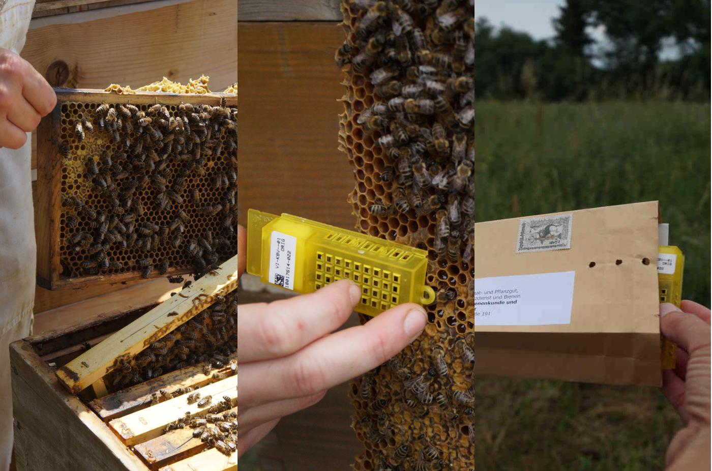 ImkerIn nimmt Wabe aus dem Volk, fängt Bienen in den Königinnenkäfig ein und gibt den Käfig in ein Versandkuvert